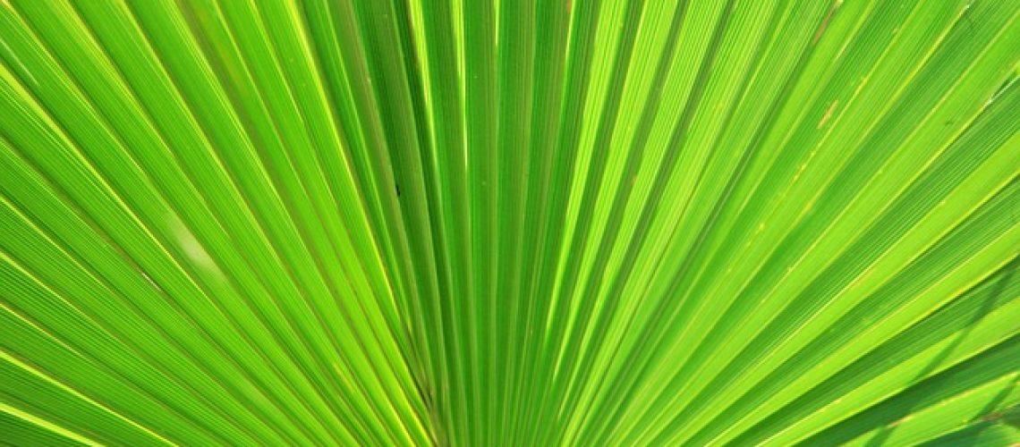 fan-palm-283152_640